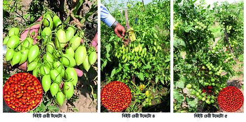 Gazipur-(2)- 06 June 2021- BSMRAU (News Variety-BU Cherry Tomato)