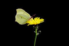 Citronfjäril | Common Brimstone | Gonepteryx rhamni