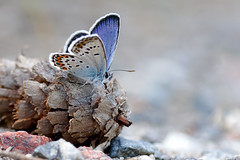 Hedblåvinge | Idas Blue | Plebejus idas