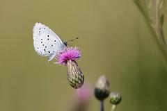 Tosteblåvinge | Holly Blue | Celastrina argiolus