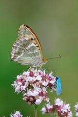 Silverstreckad pärlemorfjäril | Silver-washed Fritillary | Argynnis paphia
