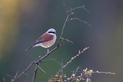 Lanius collurio | Red-backed Shrike | törnskata
