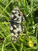 Photo:Marbled white By