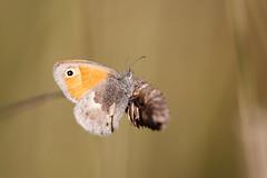 Kamgräsfjäril | Small Heath | Coenonympha pamphilus