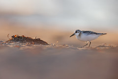 Calidris alba | Sanderling | sandlöpare