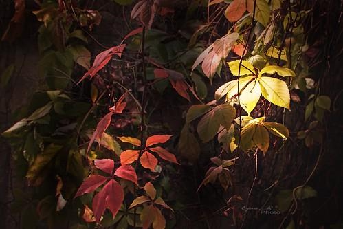 Autumn lights leaves