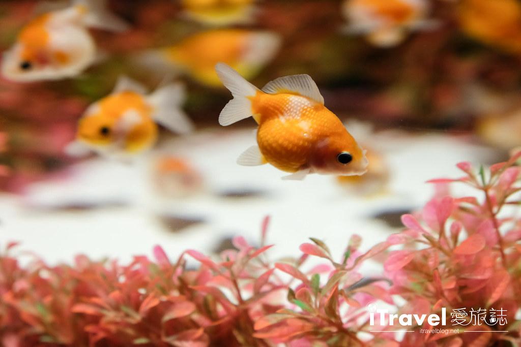 福岡展覽推薦 博多金魚の祭 (12)