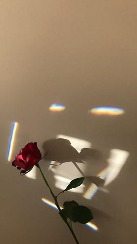 #wallpaper #rose #flowers #phone #simple #aesthetic