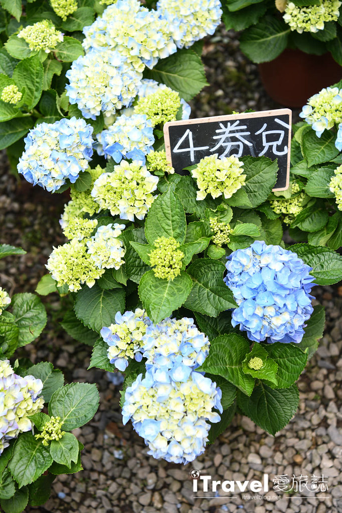 大梯田花卉生態農園 Taipei Hydrangea Terraced Fields (75)