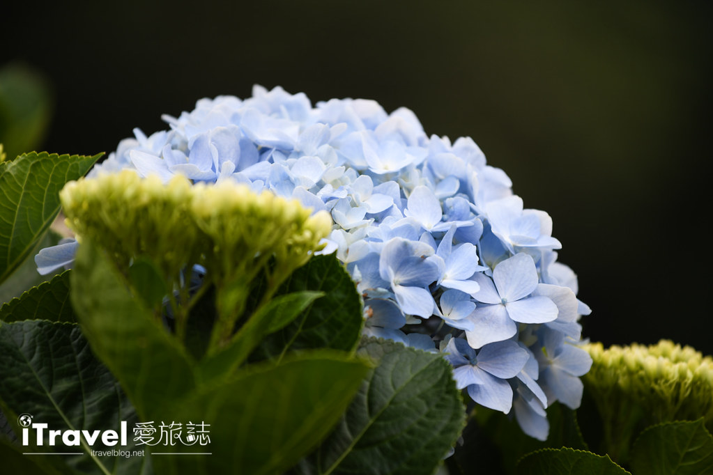 大梯田花卉生態農園 Taipei Hydrangea Terraced Fields (40)