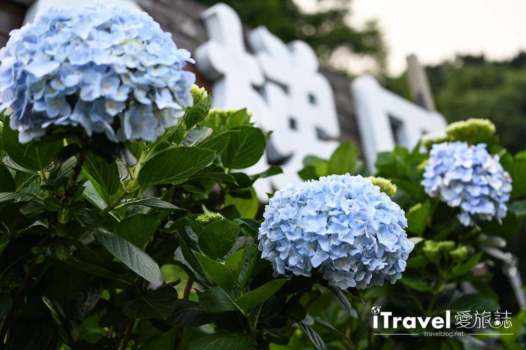 大梯田花卉生態農園 Taipei Hydrangea Terraced Fields (37)