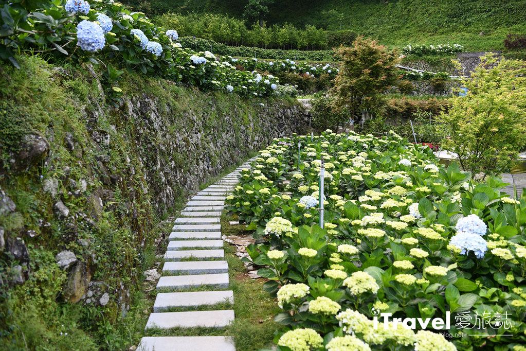 大梯田花卉生態農園 Taipei Hydrangea Terraced Fields (27)