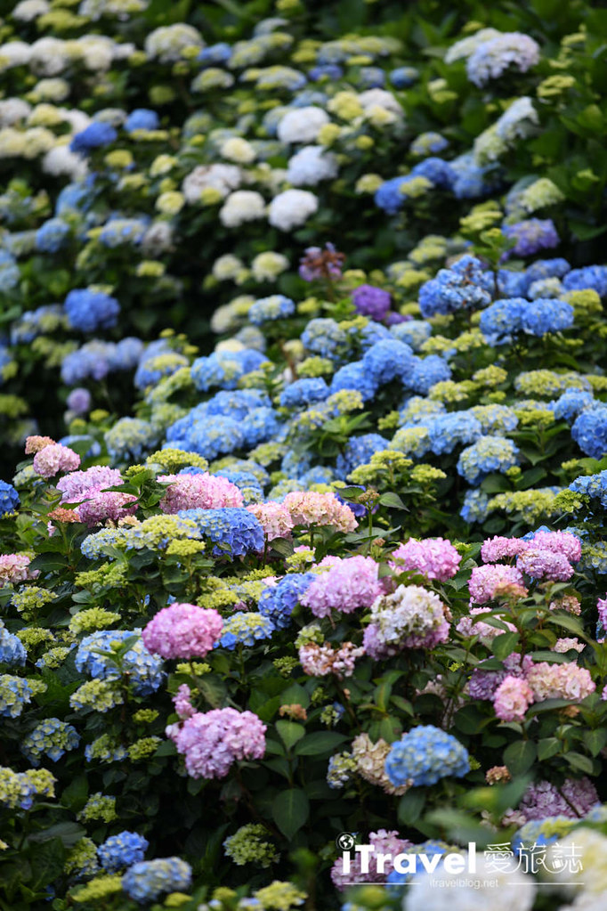 大梯田花卉生態農園 Taipei Hydrangea Terraced Fields (62)