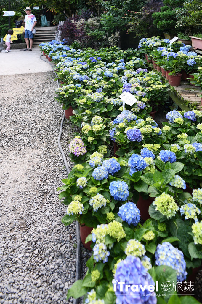 大梯田花卉生態農園 Taipei Hydrangea Terraced Fields (18)