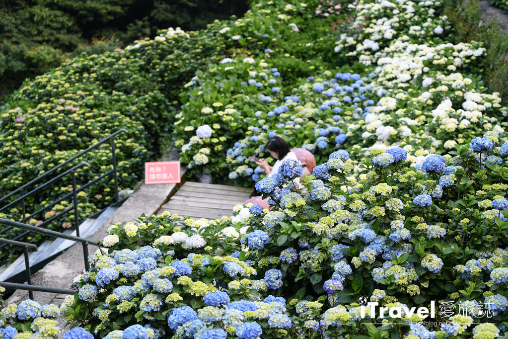 大梯田花卉生態農園 Taipei Hydrangea Terraced Fields (61)