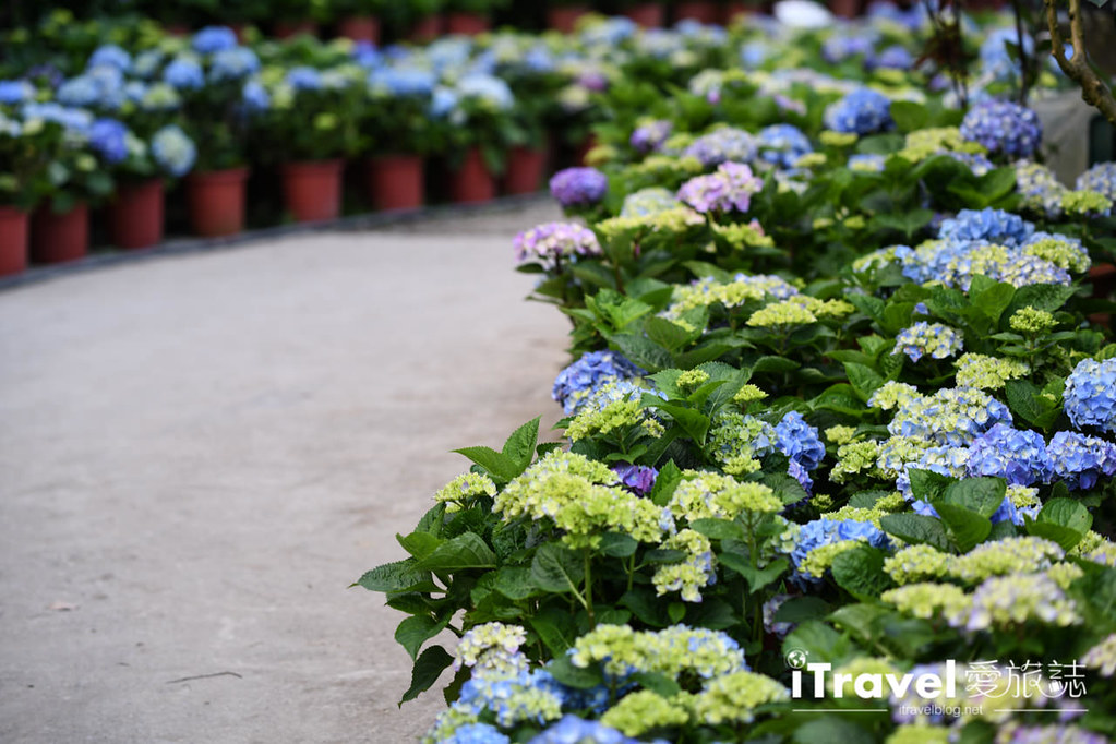 大梯田花卉生態農園 Taipei Hydrangea Terraced Fields (47)