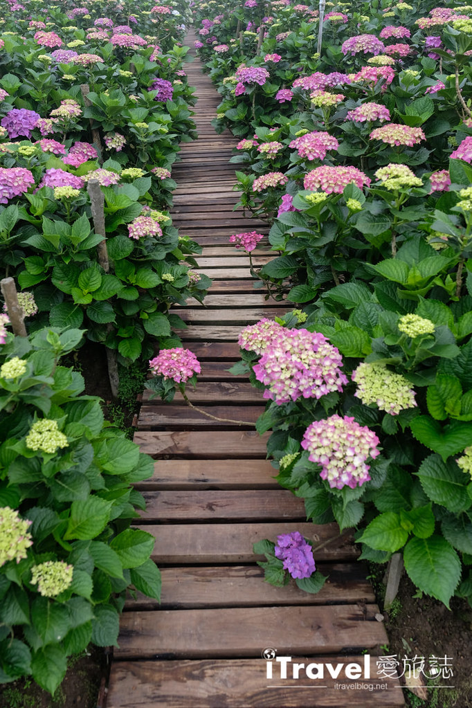 頂湖財福繡球花園 Jai Fu Garden (59)