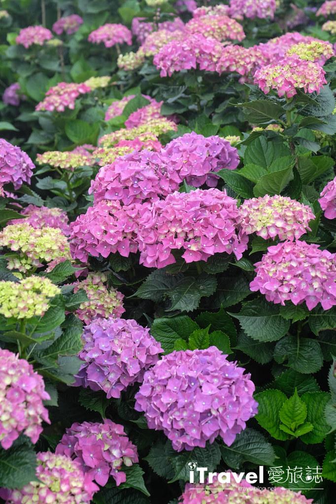 頂湖財福繡球花園 Jai Fu Garden (27)