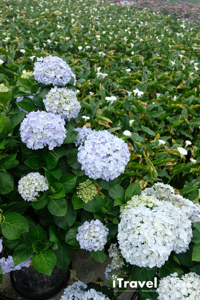 頂湖財福繡球花園 Jai Fu Garden (23)
