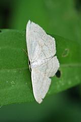 新治市民の森のガ(Moth, Niiharu Community Woods, Yokohama, Japan)