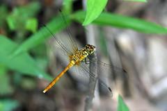 新治市民の森のマユタテアカネ(Dragonfly, Niiharu Community Woods, Yokohama, Japan)