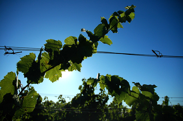 Grapevine in the sun