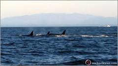 Whale Watching in Steveston (6 of 9)