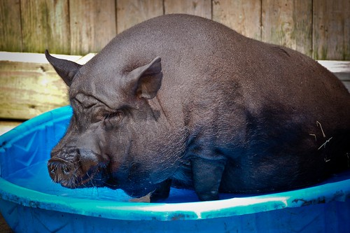 Pot Bellied Pig in his Pool