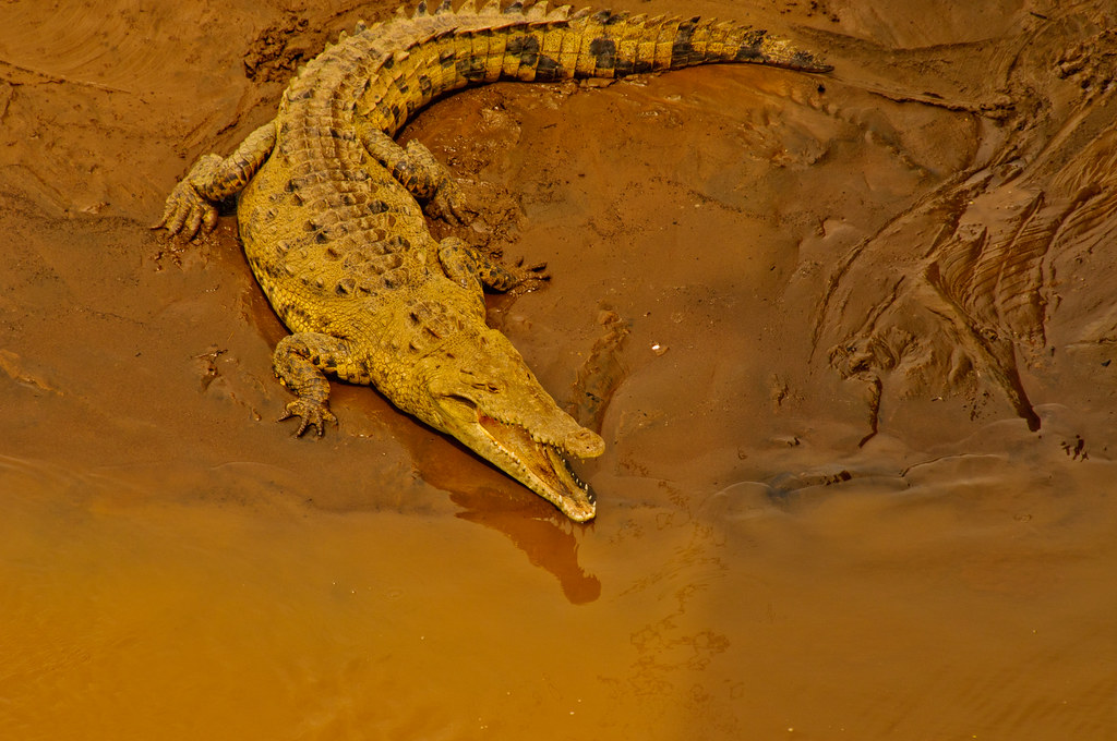 Crocodile in Cost Rica