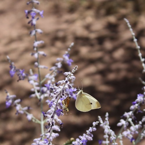 Butterfly at Pecos National Monument