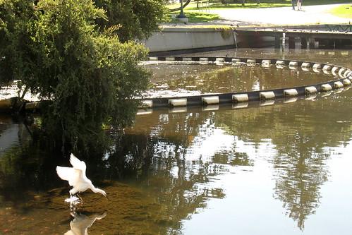 White bird on green lake water