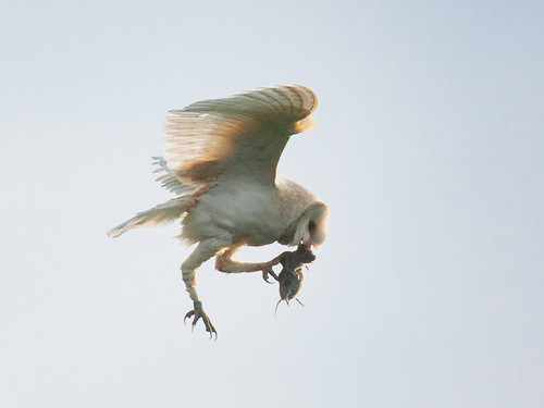 Barn Owl transferring prey