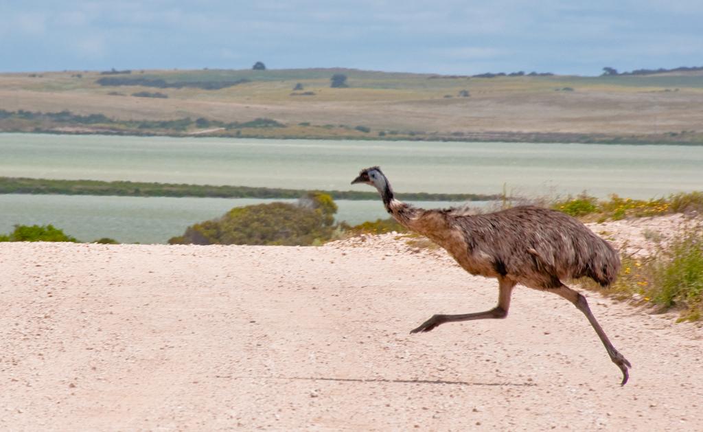 Emu crossing 1