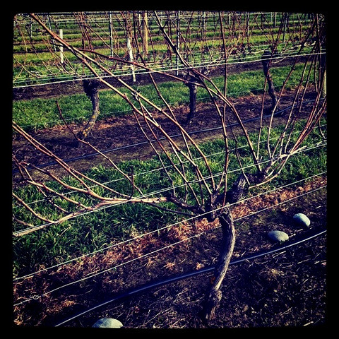 Unpruned AM10:5 Pinot Noir