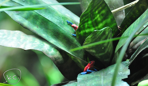 Day4; Poison Dart Frog