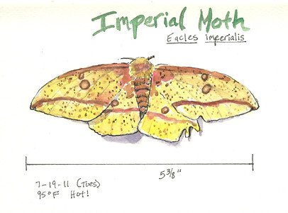 20110719_imperial_moth_sketch
