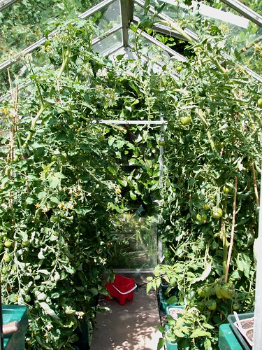 Tomatoes taking over the greenhouse