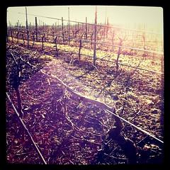 a new vineyard in waipara
