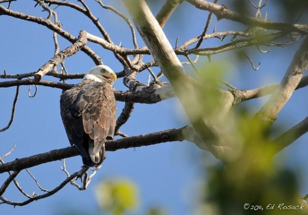 Neighborhood Bald Eagle