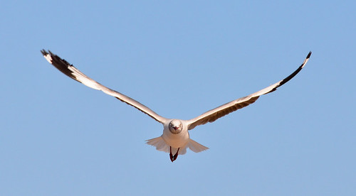 Coney Island: Gray-hooded Gull Aloft