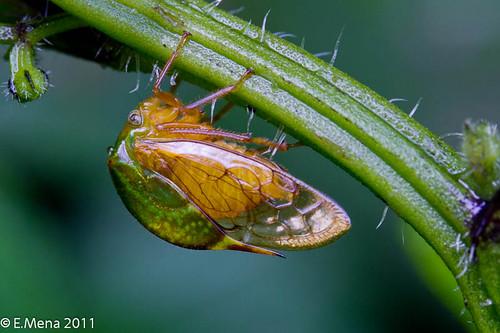 Membranácido / Treehopper