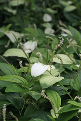 瀬上市民の森のハンゲショウ(Flower, Segami Community Woods)