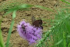 新治市民の森のジャノメチョウ(Butterfly, Niiharu Community Woods, Yokohama, Japan)