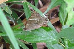 新治市民の森のヒカゲチョウ(Butterfly, Niiharu Community Woods, Yokohama, Japan)