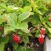 Alpine Strawberries @ Sunset Magazine Trial Gardens