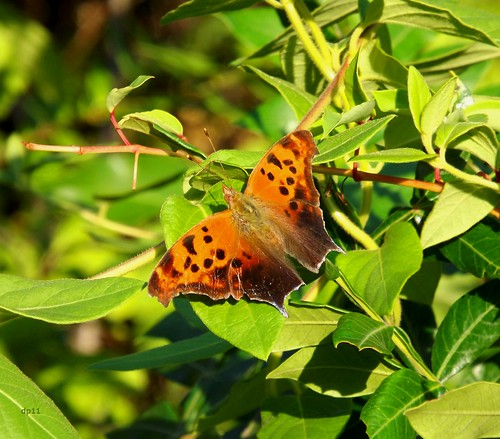 eastern comma butterfly by dppuchol