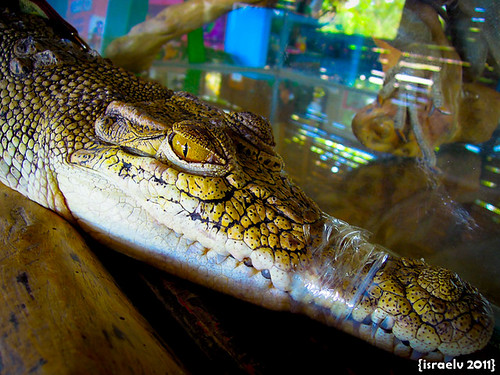 Small Croc by israelv