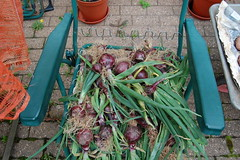 onions_2000