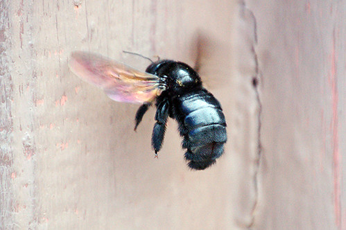 Sonoran carpenter bee