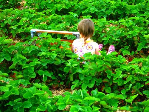 Day 7: Picking strawberries
